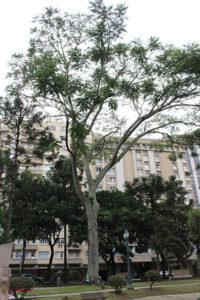 Alto garapuvu, na Praça Tiradentes