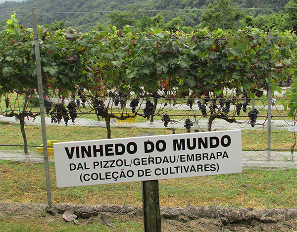 A Dal Pizzol tem área com uvas do mundo inteiro (Foto Panorama do Turismo)