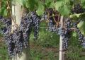 Caminhos da uva e muito mais