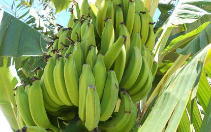 Festa da Banana em Novo Itacolomi