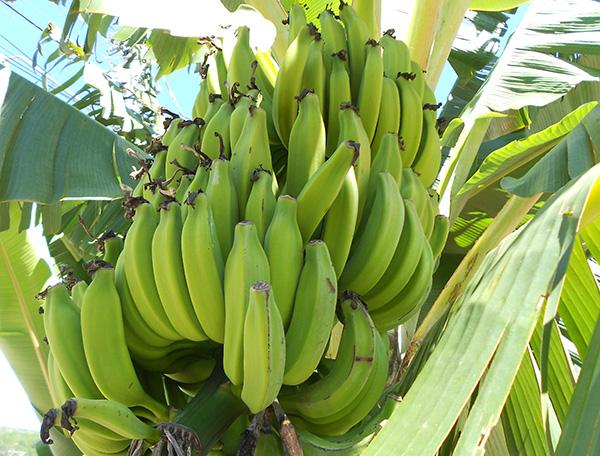 Banana, atração na festa de Novo Itacolomi (Foto Panorama do Turismo)