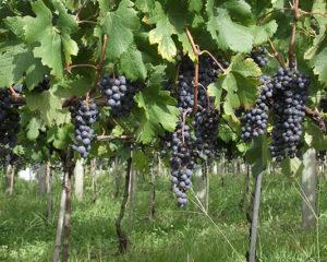 Avaliação de vinhos, inscrição até esse dia 12