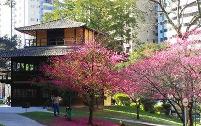 Florada das cerejeiras colore Curitiba