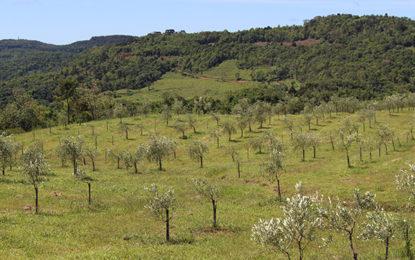 Oliveiras e raízes coloniais de Gramado