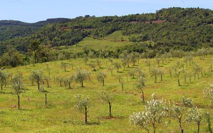 Gramado ganha parque de olivoturismo